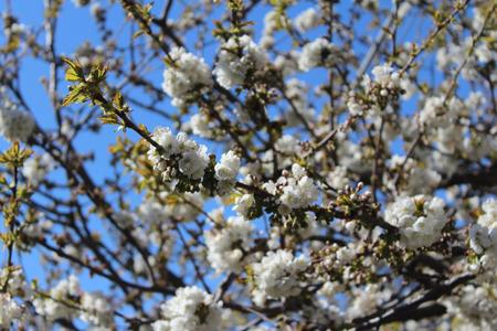 Peach Blossoms Banque d'images