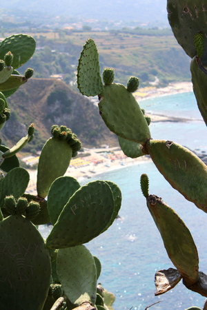 Typical Prickly Pears and Sea, Coastlineand Cliff, Summer Time, Nature Scene, Capo Vaticano, Calabria, Vibo Valentia