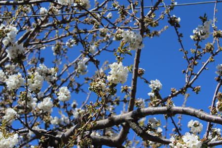 Peach Blossoms, Tree, White Flower, Nature