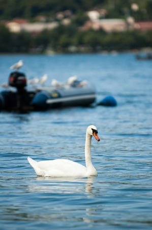 A lone white swan on the blue water of the lake against the background of a boat with gulls and a chilling far shore 免版税图像