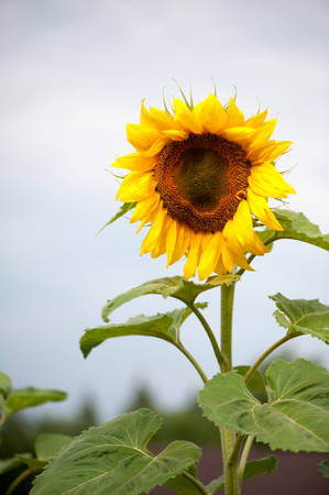 A lone big half-ripe bright yellow sunflower on a green stalk with large leaves against a gray sky Stock Photo