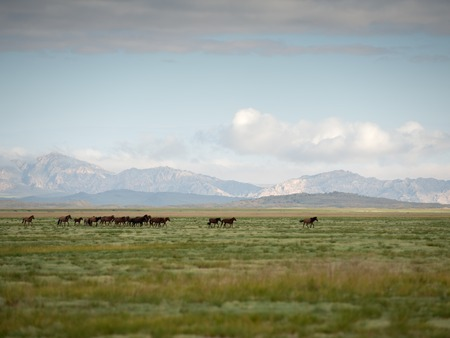 A herd of horses galloping across the mongolian steppe against the backdrop of the mountains Stock Photo