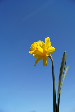 A single daffodil against a blue sky background Stock Photo - 12929670