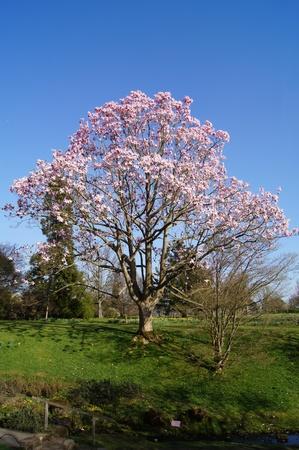 満開のマグノリアの木