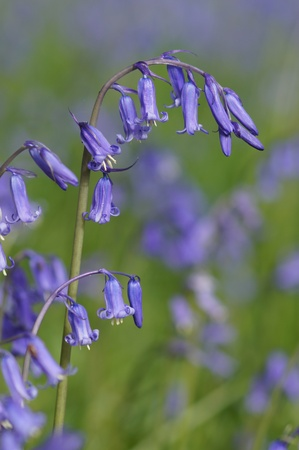 Close-up of bluebell in English garden Stock Photo - 13572791
