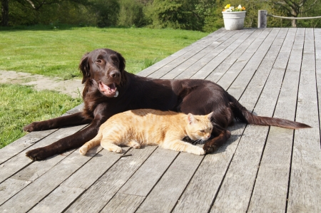 ginger cat: Ginger cat cuddling up to a flat-coated retriever dog