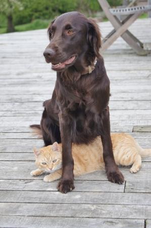 フラットコーテッド ・ レトリーバー犬の下にあるリラックスした生姜猫