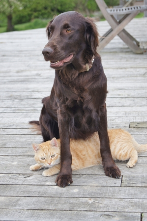 Ginger cat relaxing underneath a flat-coated retriever dog Stock Photo - 13609894