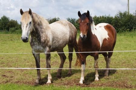 アイルランドのドラフト クロス フィールドに stewbald ポニーの灰色の馬、ダートムーアを出す