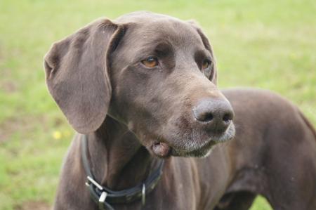 Wiemaraner pedigree dog alert looking for game photo