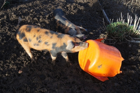 trotters: An Oxford Sandy and Black rare breed pigs playing