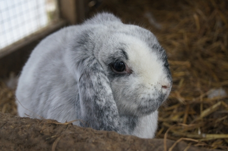lop eared: A lop eared grey rabbit in his hutch
