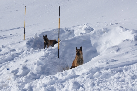 avalanche: Avalanche rescue dogs resting in snow dens during training exerise