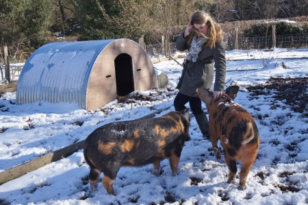 mud and snow: Girl interacting with rare breed pigs in Winter
