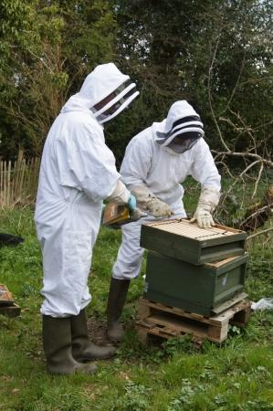 養蜂家は蜂を静めるために喫煙者を使用してその蜂ハイブで保守点検を遂行する保護スーツに身を包んだ