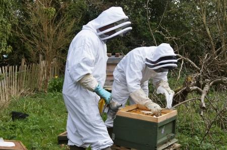 養蜂家が蜂を静めるため喫煙者を使用して蜂ハイブのメンテナンス チェックを遂行する保護スーツに身を包んだ