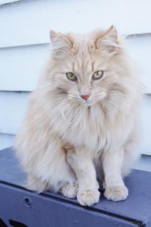 外に座っている生姜の長い髪の猫
