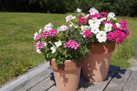 petunia: Summer potted plants on decking in garden