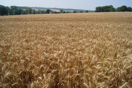 ファーム収穫の準備ができての麦畑