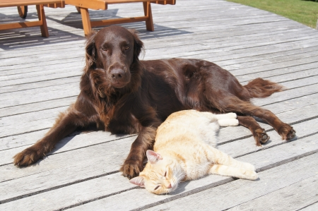 Flat coated retriever dog lying outside with ginger cat Stok Fotoğraf