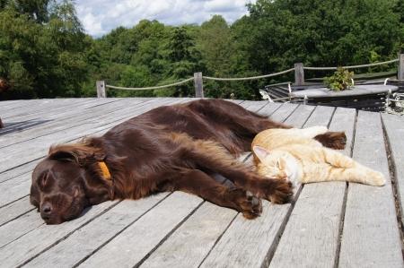 フラット コーティング ・ レトリーバー犬外にあると生姜猫 写真素材