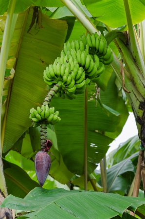 Green bananas hanging on a tree photo
