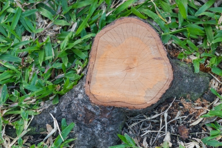 Top view of a cut tree stump lying in the grass photo