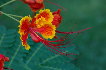 Beautiful tropical flower called Caesalpinia Pulcherrima Stock Photo - 17701965