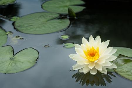 flor de loto: Flor amarilla de Lotus y plantas de flor de Lotus Foto de archivo