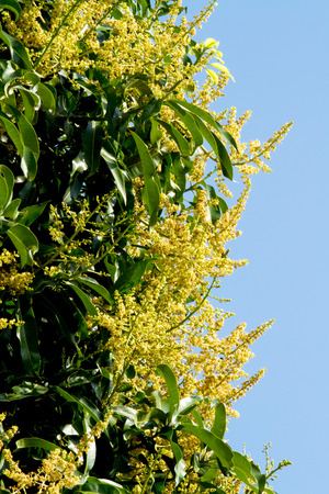 Mango Flowers and Blue sky on Vertical photo