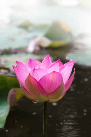 Lotus flower closeup, vetical, center Stock Photo