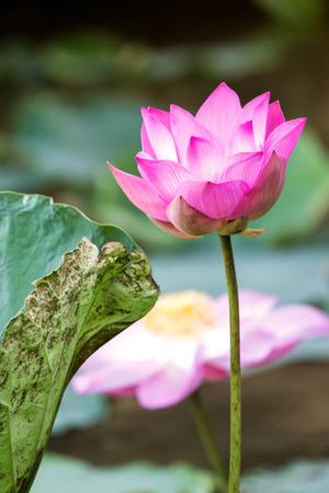wavelet: lotus flower in pond