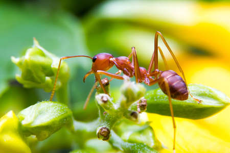 ant leaf: Fire Ant worker on yellow backgrond