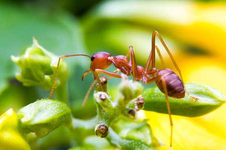 hormiga hoja: trabajador de la hormiga de fuego en el backgrond amarillo