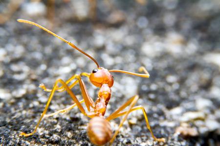 hormiga hoja: Ejército rojo fuego hormiga y bokeh en el fondo Foto de archivo