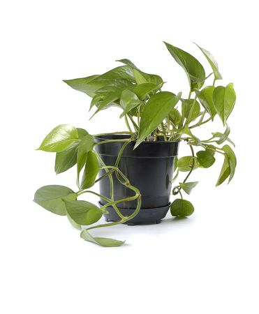 plant in black pot isolated Stock Photo - 916268