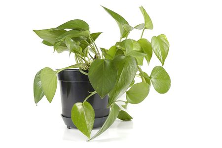 plant in black pot isolated Stock Photo - 916270