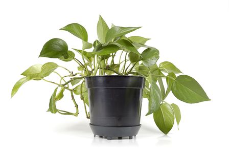 plant in black pot isolated Stock Photo - 916271