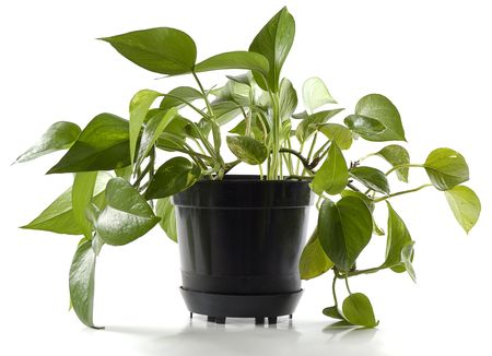 plant in black pot isolated Stock Photo - 916272