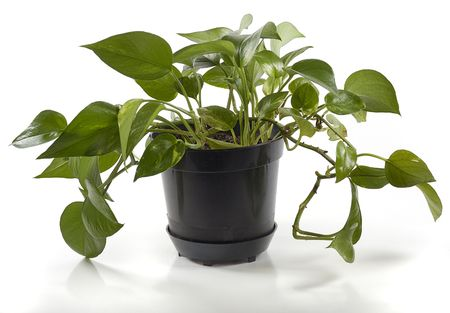 fulcrum: plant in black pot isolated