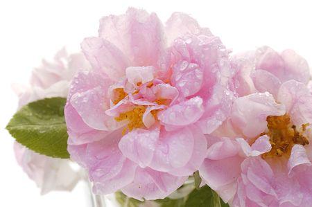 wild pink rose close-up Stock Photo