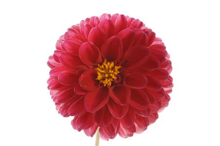 georgina: flower of red georgina isolated on white background close up Stock Photo