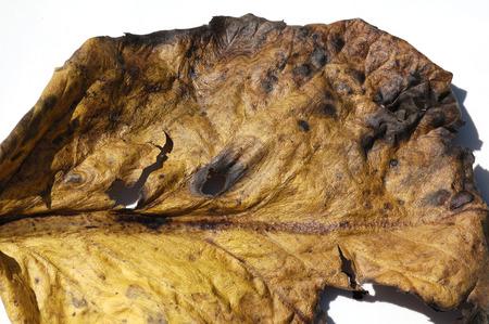 nervure: la textura de la hoja de edad close-up