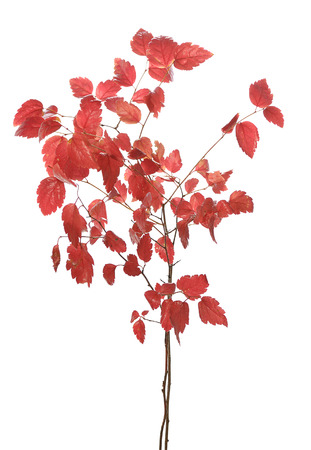 senescence: red autumn branch isolated on white