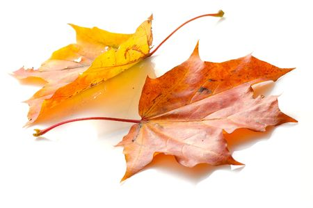two maple leaves  lying on white Stock Photo - 1789410