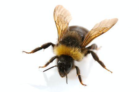 bumblebee  close-up on white background Stock Photo