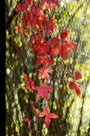 rabitz: red autumn leaves of decorative vine creeping on black wire netting