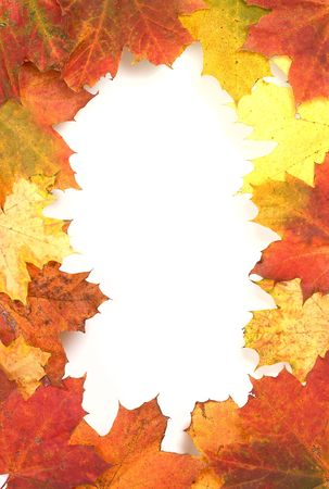 senescence: bright autumn frame of maple leaves  isolated on white
