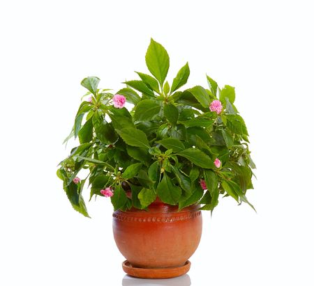 blooming plant  with pink flowers in ceramic pot isolated Stock Photo - 1904563
