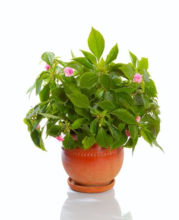 blooming plant  with pink flowers in ceramic pot isolated Stock Photo - 1904564